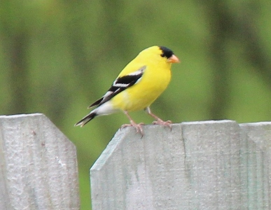 goldfinch Spring Homeschooling Bird Study Ideas
