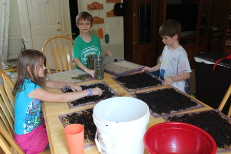 dehydrating elderberries homeschoolbytes Homeschool Lessons from the Garden