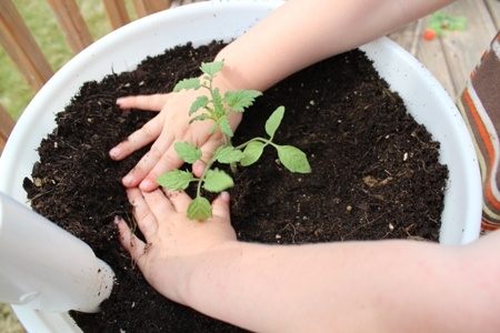 tomato planting Homeschool Lessons from the Garden